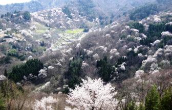 陸郷の山桜 桜仙峽