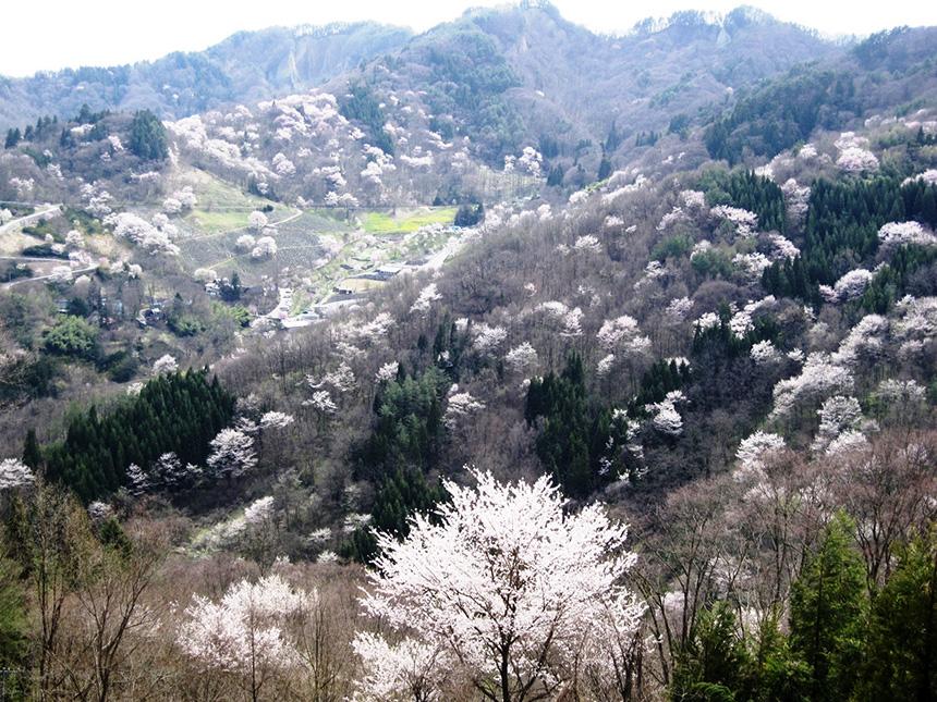 陸郷の山桜 桜仙峡
