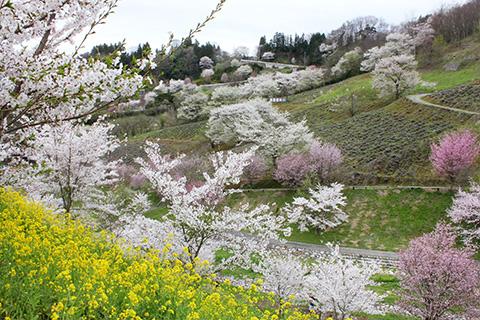 陸郷の山桜 夢の郷